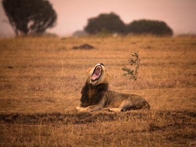 Löwe in Ishasha