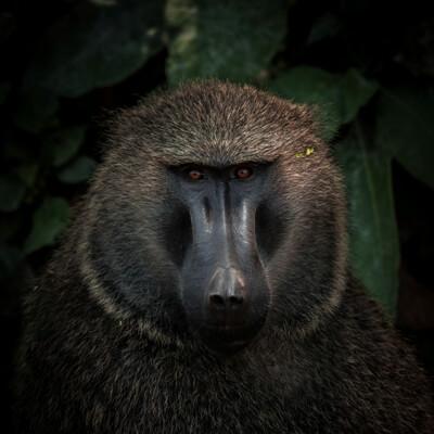 Pavian in Uganda