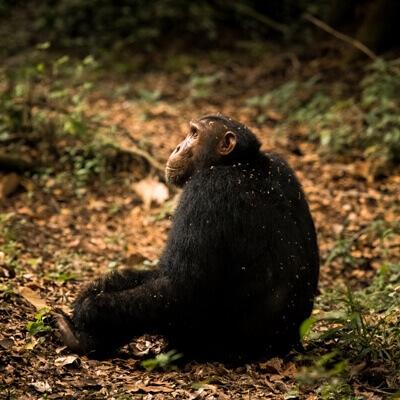 Schimpansen Trekking