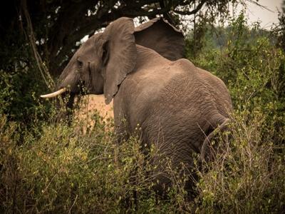 Elefant bei Uganda individuell